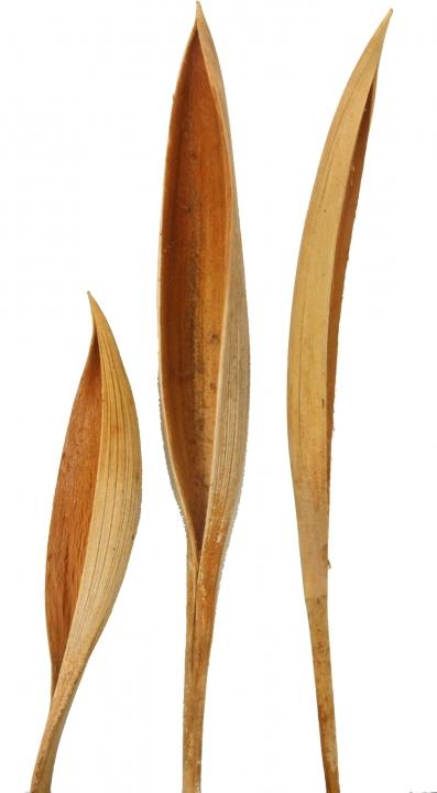 Cocosschale Kokosblatt Mini in Natur, ca. 15-25cm  (10 Stück)