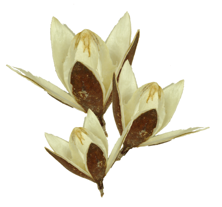Wildlilie am Stiel in Gebleicht  (400 Stück)