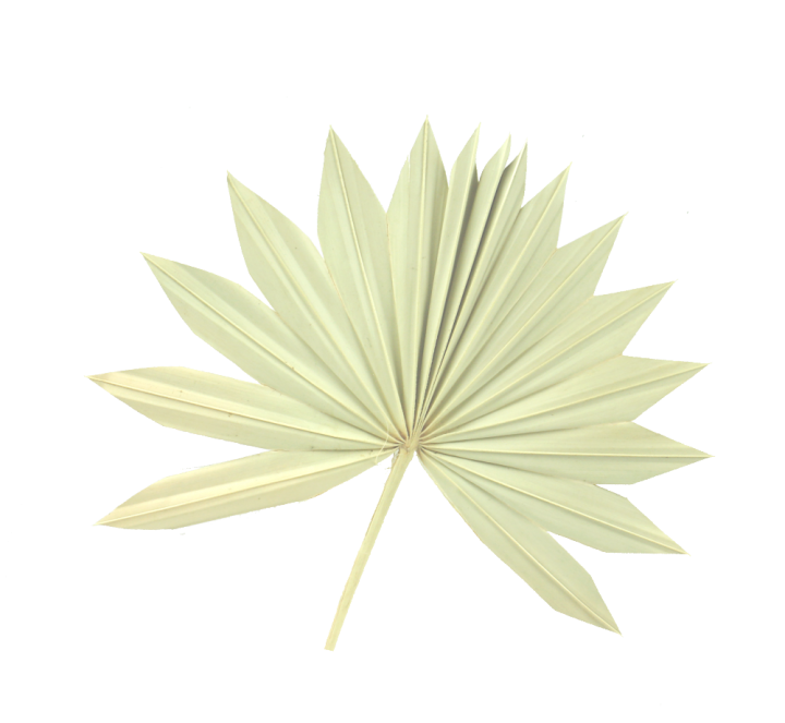 Sun Palm Cut mit  Stiel in Gebleicht (250 Stück)