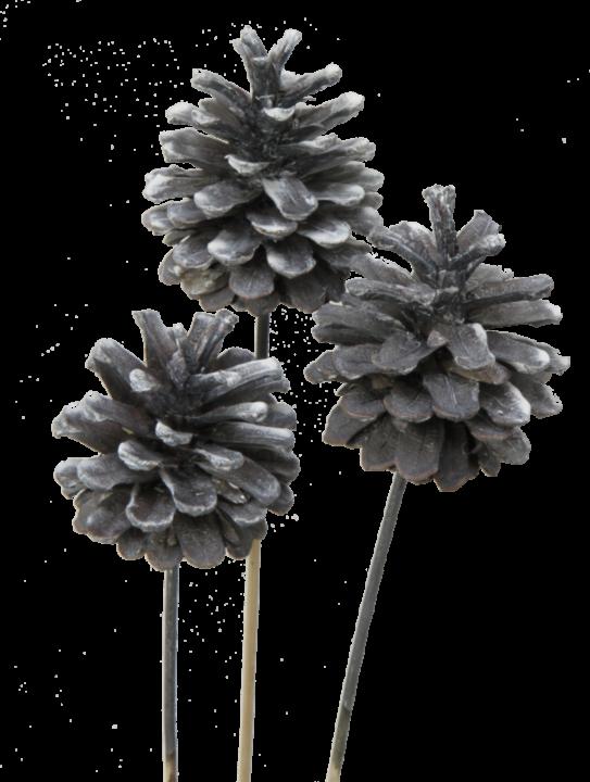 Schwarzkiefer Zapfen am Stab in Frosted Blackwashed (240 Stück)
