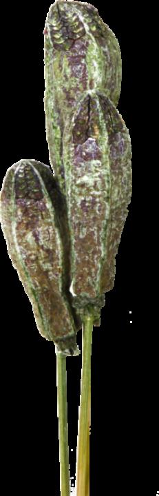 Mehogany am Stiel in Frosted Green (500 Stück)