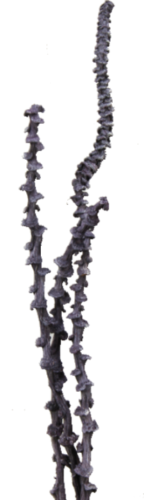 Banana Stem in Frosted Purple (300 Stück)