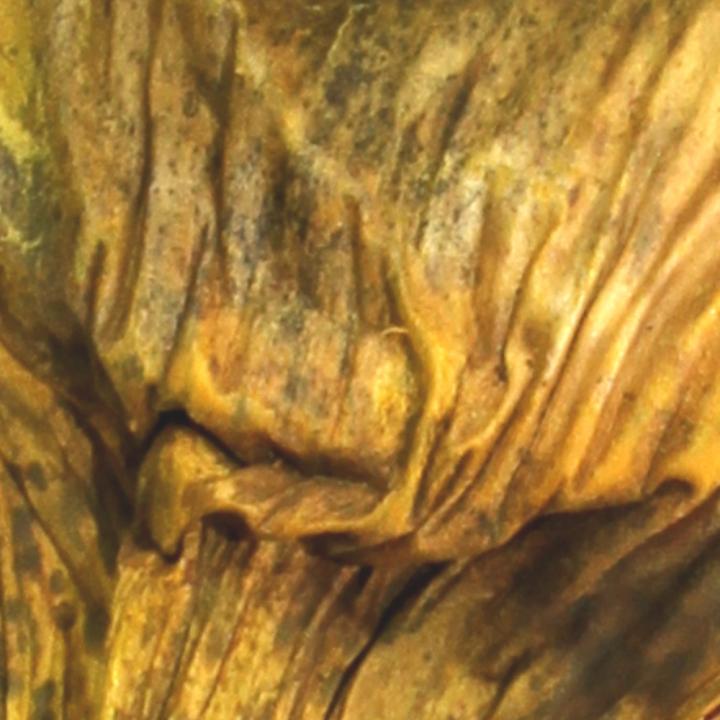 Agave groß in Gelb gefärbt    (125 Stück)