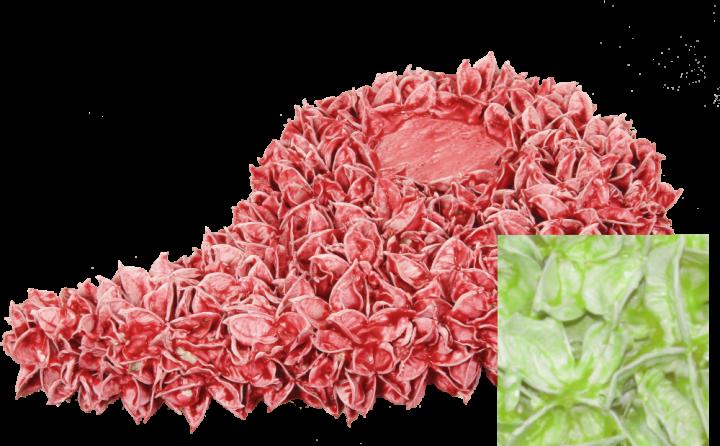 Baumwollfrucht Engelsflügel gewachst Grün Light ( ca. 40cm ) (6 Stück)