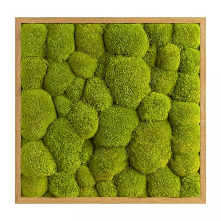 Moosbild Kugelmoos 55 x 55 cm mit Tischlerrahmen aus geölter Eiche