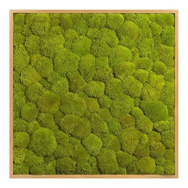 Moosbild Kugelmoos 80 x 80 cm mit Tischlerrahmen aus geölter Eiche