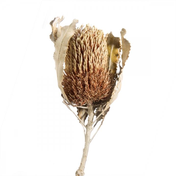 Banksia mit Stiel 3fach Mix (90 Stück)