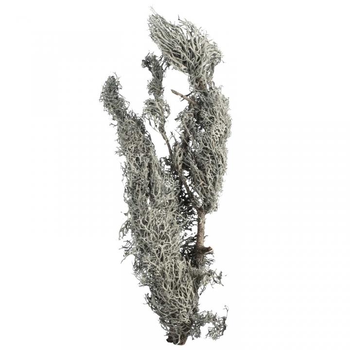 Blaumoosstock / Graumoos Natur ( ca. 15 - 20cm ) (4 Kg)