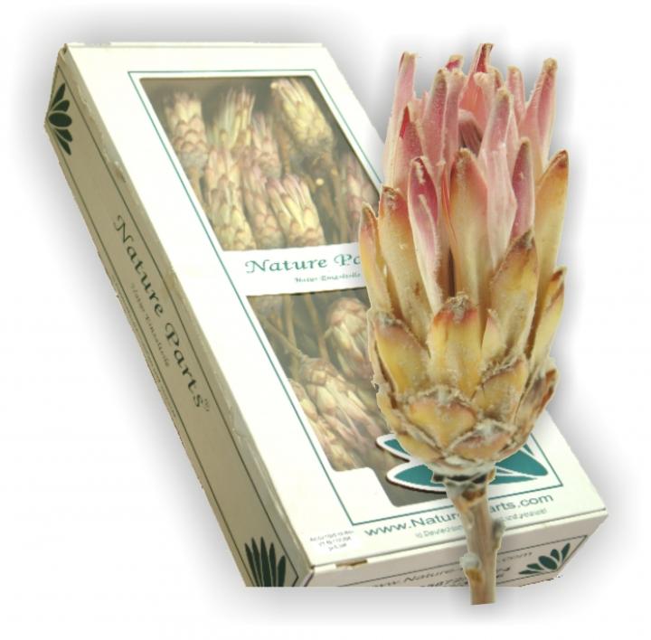 Compacta Flower Pink mit Stiel ( 50 Stück )