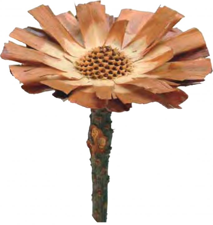 Protea geschnitten medium in Natur (40 Stück)