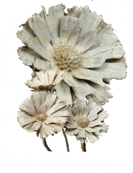 Protea geschnitten Gewachst in Creme Weiß ( 40 Stück )