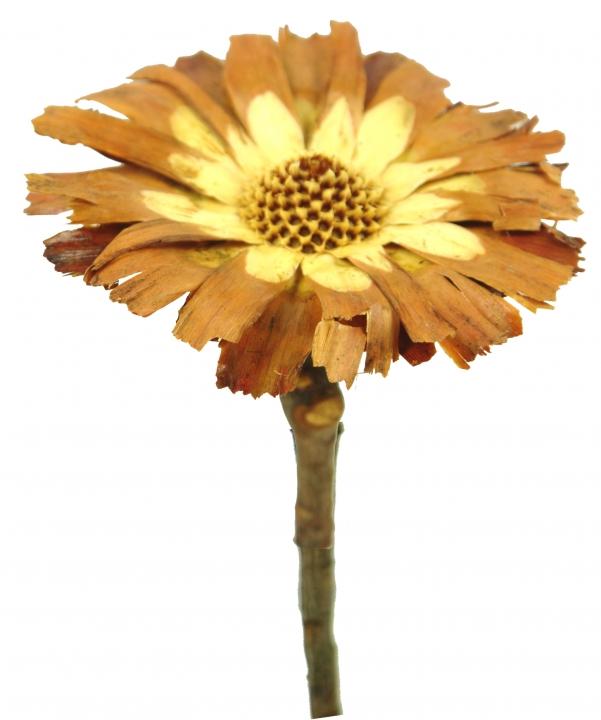 Protea geschnitten Small in Sulphured (geschwefelt) ( 50 Stück )