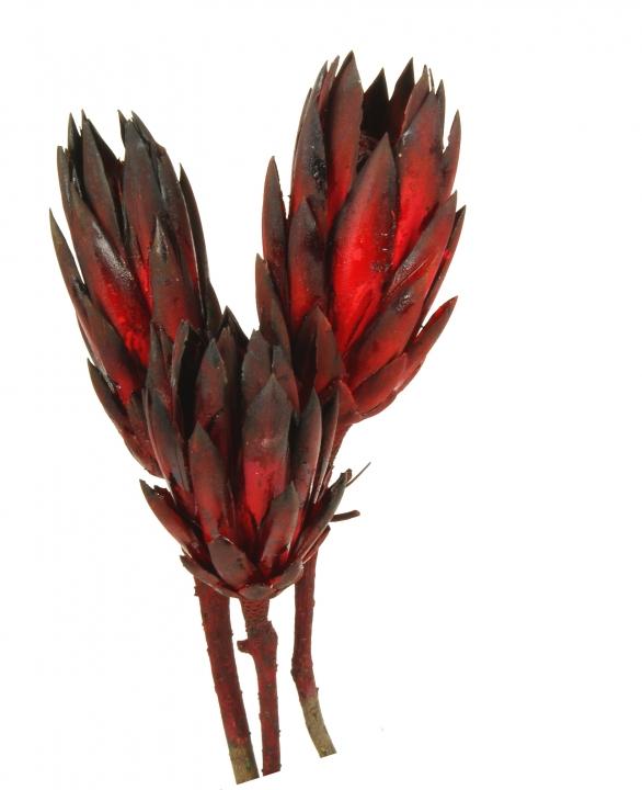 Protea Repens Groß Red - Black 1. Wahl ( 50 Stück )