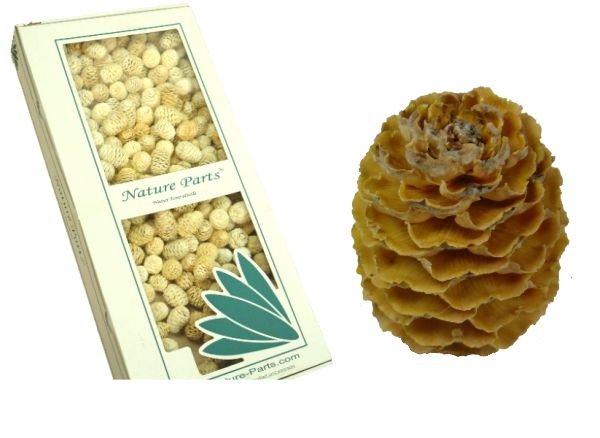 Sabulosum Zapfen Hell  Ø 4-5cm ( 2kg )