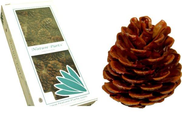 Halepensis Zapfen Natur am Draht gewachst ( 50 Stück )
