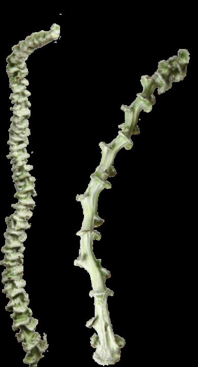 Banana Stem gewachst in Grün Light (50 Stück)
