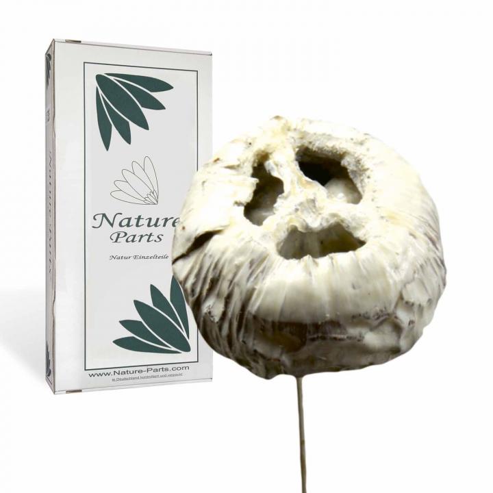 Talami am Stiel gewachst in Creme Weiß (30 Stück)