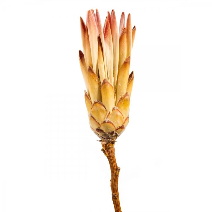 Compacta Flower Pink mit Stiel   (600 Stück)