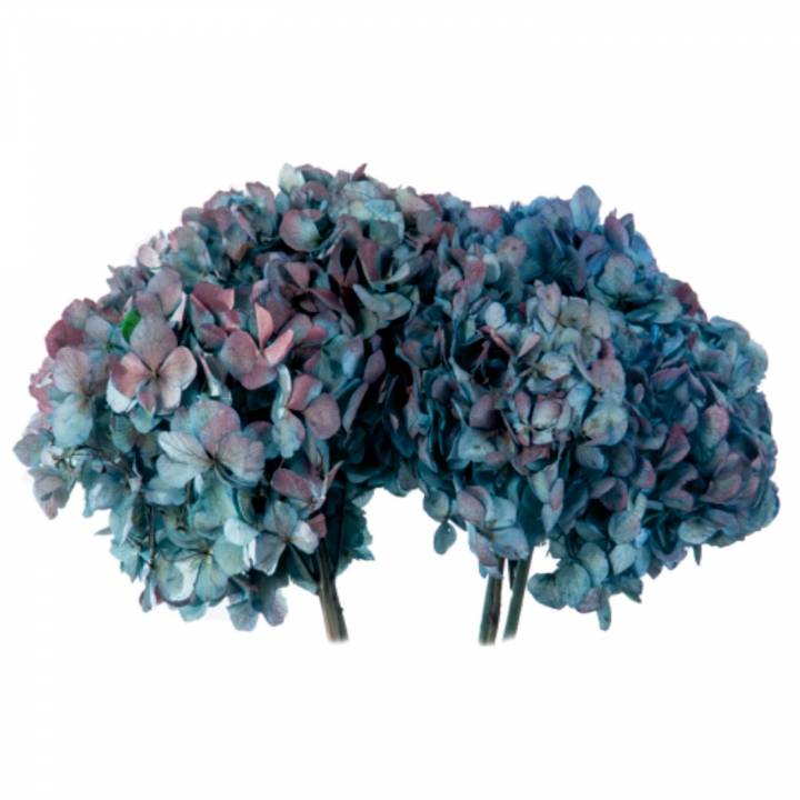 Hortensien Strauß in Bicolor Natural Blue/Burgundy Kopfgröße Ø 18-25cm