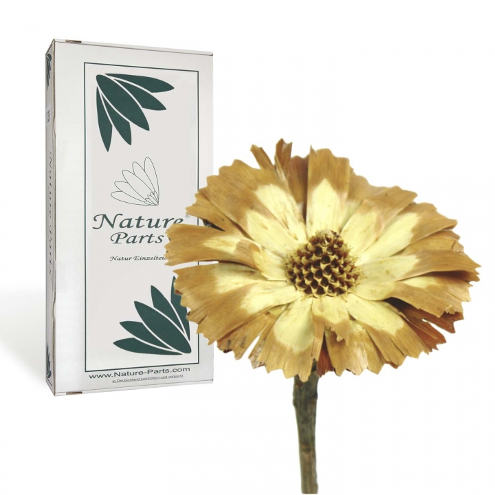 Protea geschnitten Medium Sulphured (geschwefelt) ( 40 Stück )