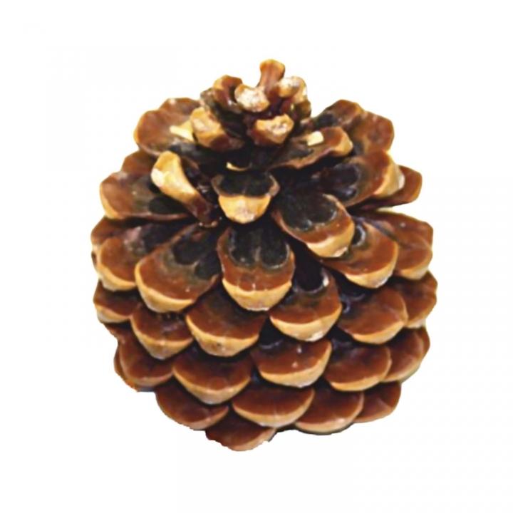 Pinea Zapfen Mittel Natur (75 Stück)