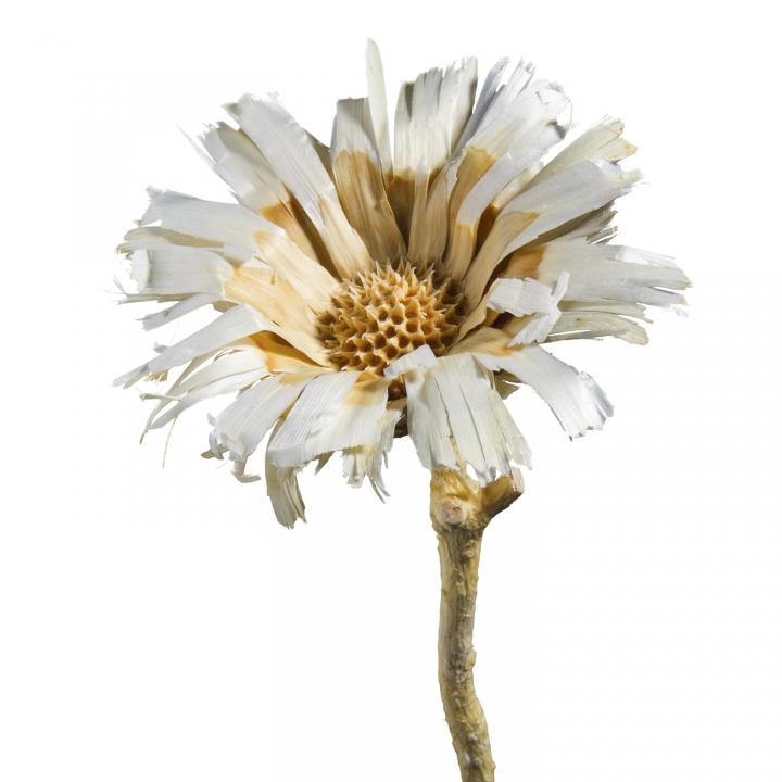 Protea geschnitten Medium gebleicht ( 50 Stück )
