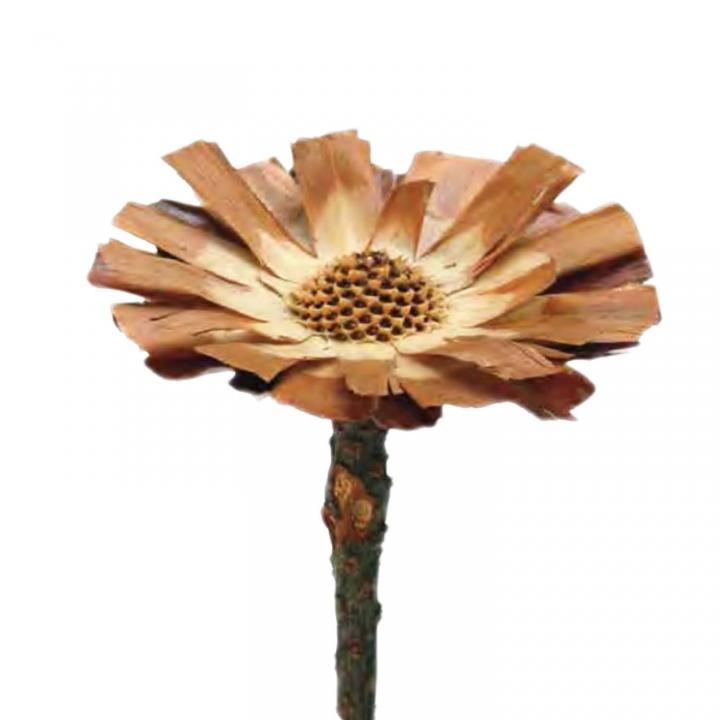 Protea geschnitten Medium in Natur  (350 Stück)