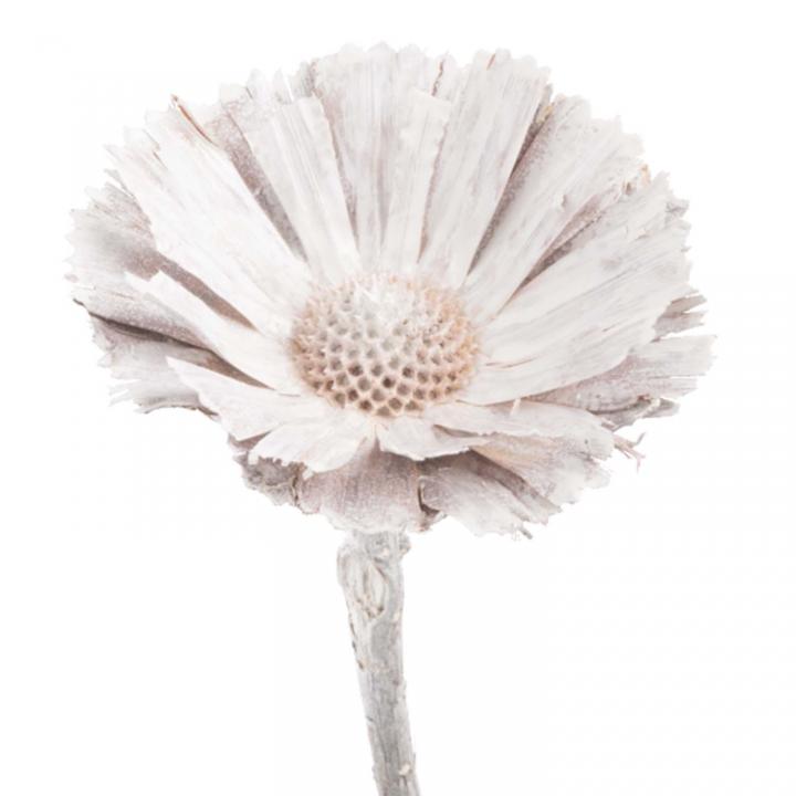 Protea geschnitten Medium in Stonewashed ( 40 Stück )
