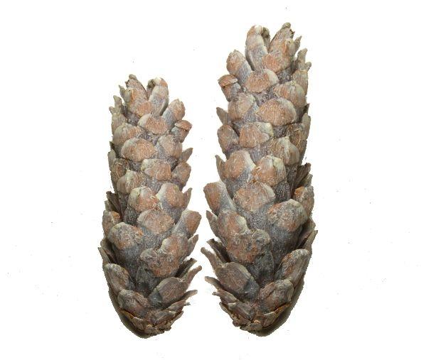 Strobus Zapfen Stonewashed ( Ø 15-20cm )
