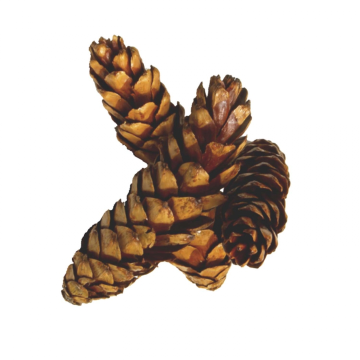 Strobus Zapfen Natur lackiert ( Ø 15-20cm )