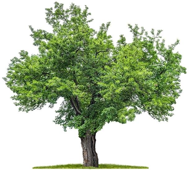 Maulbeerbaum Rinde gerupft in Weiß [ca. 150g pro Beutel]