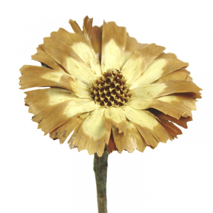 Protea geschnitten Medium Sulphured (geschwefelt)