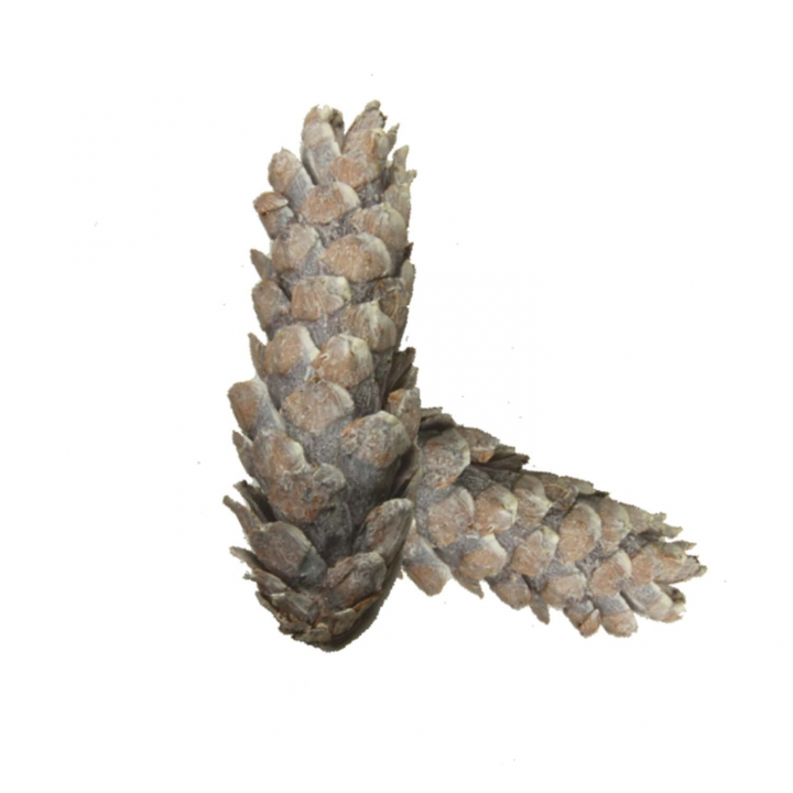 Strobus Zapfen Stonewashed ( Ø 15-20cm - 40 Stück )