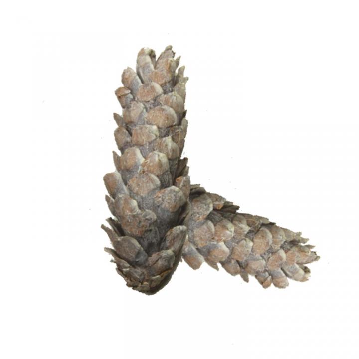 Strobus Zapfen Stonewashed ( Ø 10-15cm ) (500 Stück)