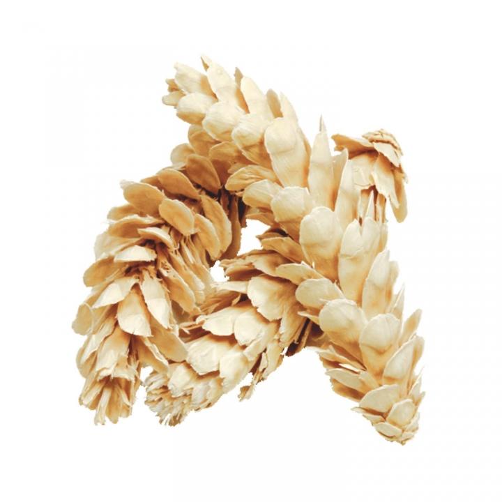 Strobus Zapfen Gebleicht ( Ø 15-20cm - 40 Stück )