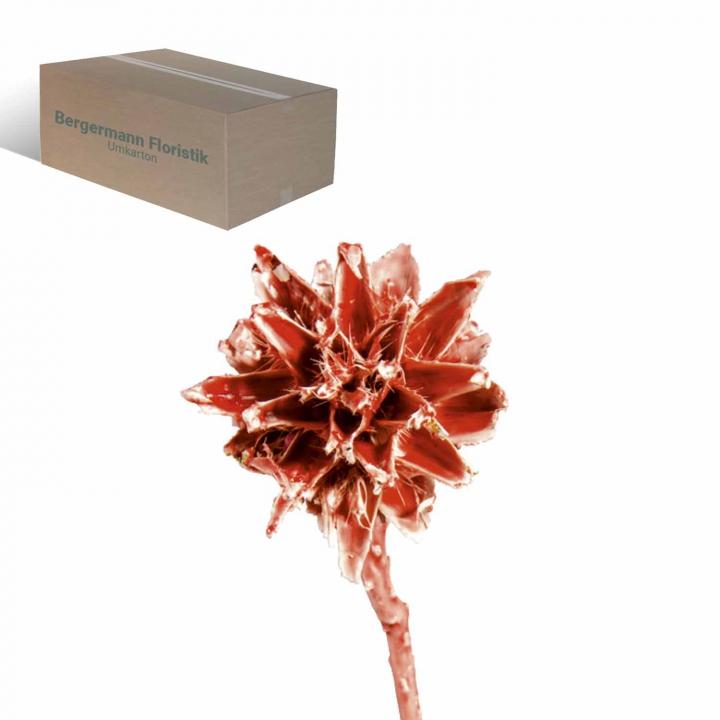 Leukospernum 1 Kopf gewachst Rot Antik (600 Stück)
