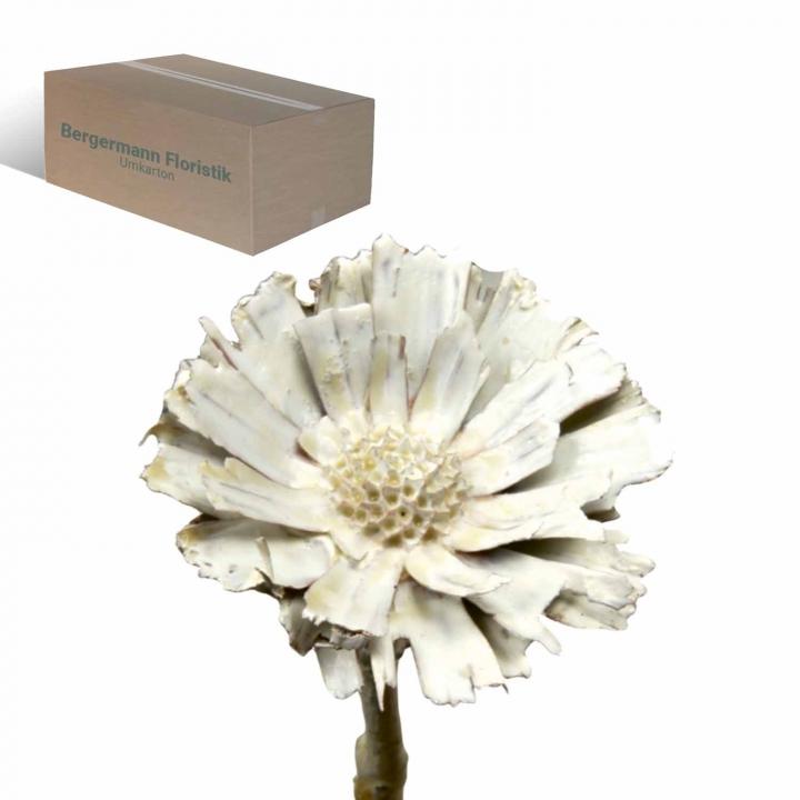 Protea geschnitten gewachst creme weiß (350 Stück)