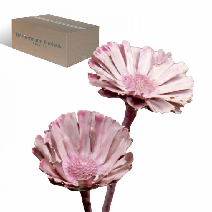 Protea geschnitten gewachst viola ice (350 Stück)