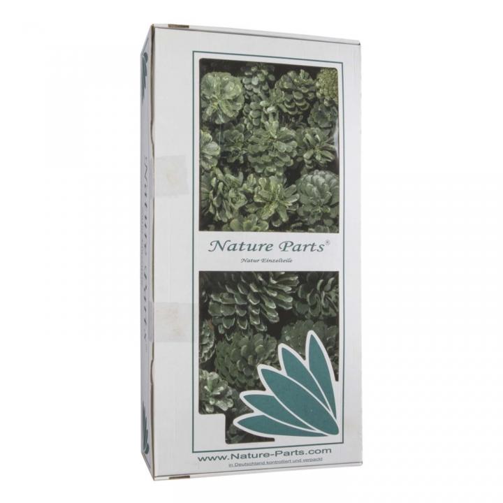 Sortiment Zapfen Maritima / Schwarzkiefer in Frosted Green ( 50 Stück )