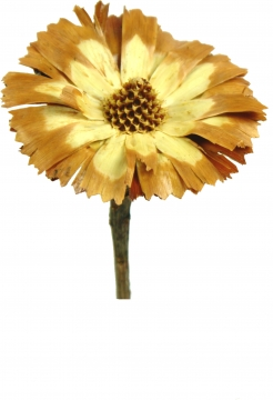 Protea geschnitten Medium Sulphured (geschwefelt) (350 Stück)