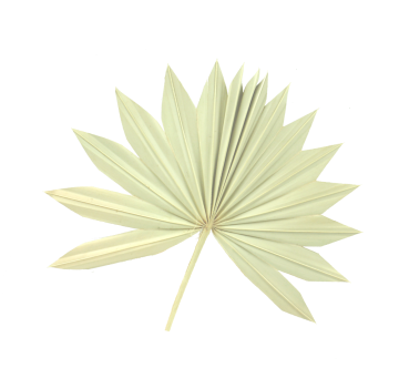 Sun Palm Cut mit Stiel in Natur  (250 Stück)