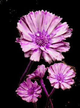 Protea geschnitten gewachst brombeer (350 Stück)