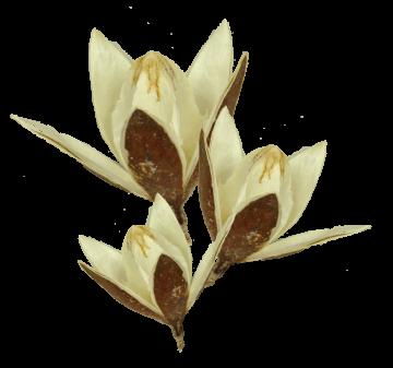 Wildlilie am Stiel gebleicht (400 Stück)