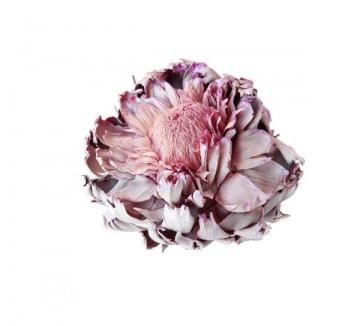 Artischocke mittel gewachst viola ice