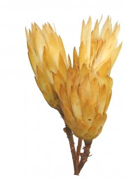 Protea Repens groß gold II. Wahl (450 Stück)