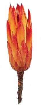 Protea Repens klein rot 1+   (800 Stück)