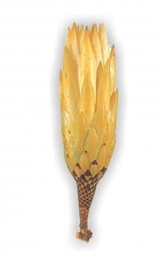 Protea Repens klein gold 1+ (800 Stück)