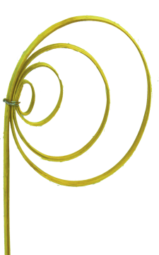 Cane Coil mini gelb (150 Stück)