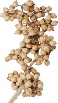 Canella Spezial gebleicht (800 Stück)