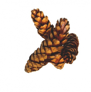 Strobus Zapfen Ø 15-20cm Natur lackiert (300 Stück)
